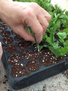 la coltivazione delle piantine di Armando
